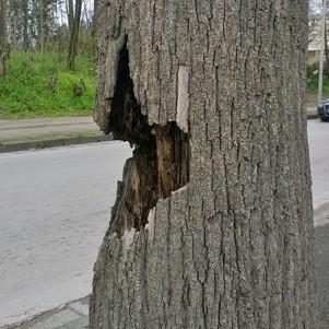 Aversa – alberi pericolanti in Via Gramsci (2)