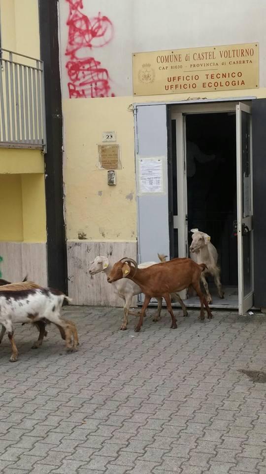 pecore castel volturno (3)