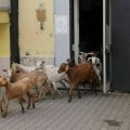 pecore castel volturno (4)