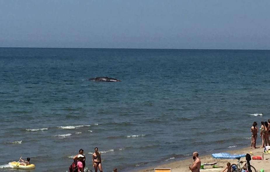 balena2