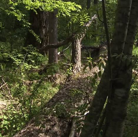 foresta siberiana