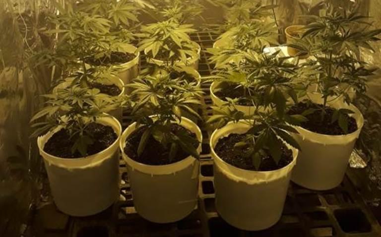 marijuana frignano (2)