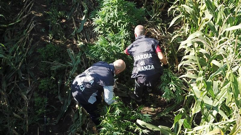 marijuana san tammaro