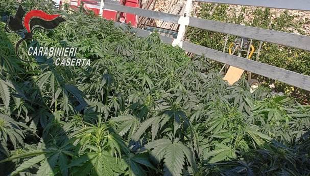 cervino marijuana4
