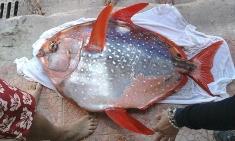 Pesce Re