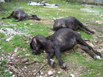 Bufale Morte